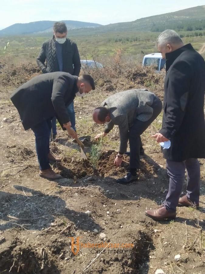Zeytinin Başkenti Akhisar'a 11 000 Yeni Zeytin Ağacı Daha