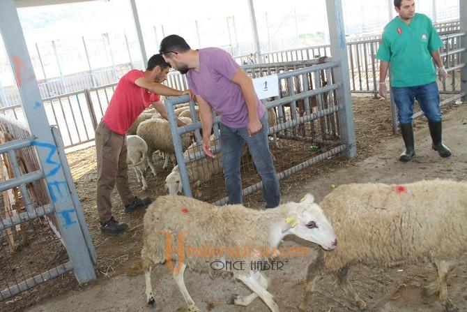 Genç Çiftçi Projesinde Küçükbaş Hayvanlar Dağıtıldı