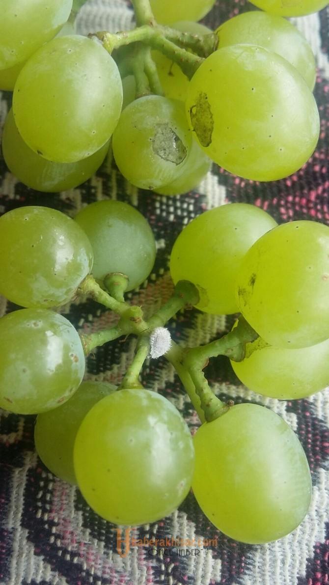 Domates Güvesi, Yeşil Kurt, Baktyeriyel ve Fungal Hastalıklara Dikkat !!!