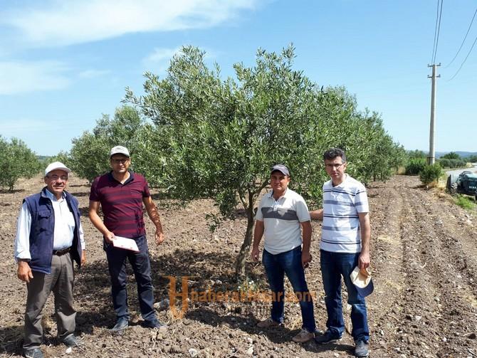İlçe Tarım Müdürlüğünden Üreticilere Zeytin Güvesi Uyarısı