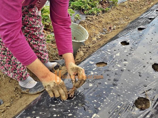 Akhisar Belediyesi'nden Kadın Çiftçilere Büyük Destek