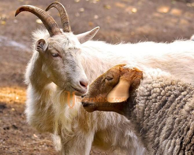Anaç Koyun-Keçi Desteği Ödemeleri Bugün Başlıyor