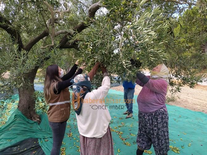Akhisar'ın Binlerce Yıllık Geleneği Zeytin Hasadı Başladı
