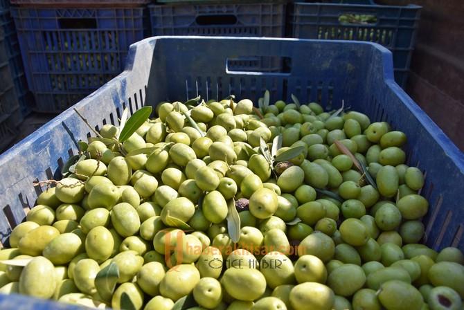 Başkan Dutlulu, halkla birlikte zeytin topladı